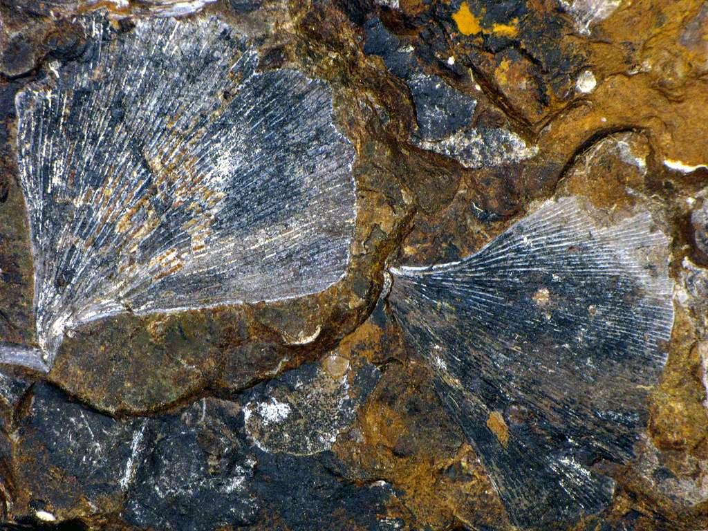 Ces feuilles de ginkgo fossilisées dateraient de l'époque des dinosaures. Leur étude relève de la paléobotanique. © BlueRidgeKitties, Flickr, cc by nc sa 2.0