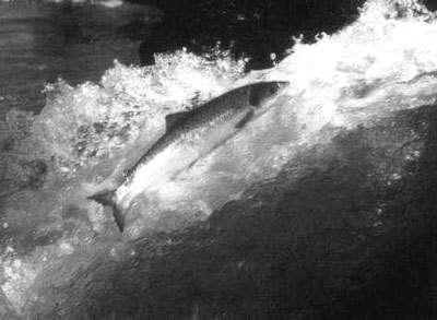 Les saumons de Garonne sous haute surveillance