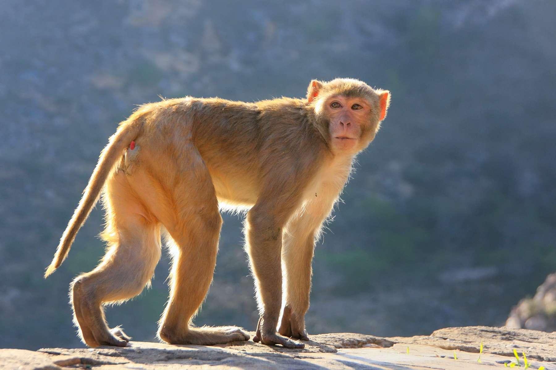 Un chercheur chinois est décédé du virus herpès B, un virus répandu chez le macaque, mortel dans 80 % des cas chez l'Homme. © donyanedomam, Adobe Stock