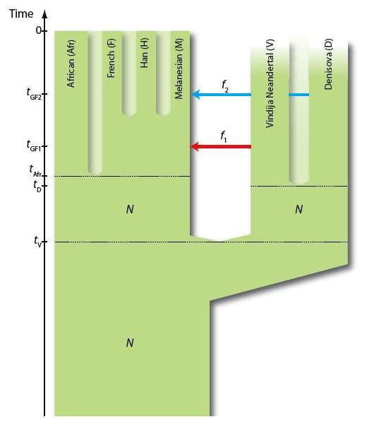 Le séquençage et l'analyse du matériel génétique extrait des restes de Néandertaliens, récupérés par exemple dans la grotte Vindija en Croatie, ont montré que des Hommes modernes non-Africains (l'étude portant des Chinois Han, des Français et des habitants de Papouasie-Nouvelle-Guinée) ont hérité de 1 à 4 % de leurs gènes de l'Homme de Neandertal. Des métissages se sont donc probablement produits dans la population ancestrale des non-Africains issus des régions du Levant et de l'Afrique du Nord. Aujourd'hui, les scientifiques ont également découvert que les Dénisoviens ont légué de 4 à 6 % de leur matériel génétique aux Mélanésiens. Sur ce schéma, les flèches (notées f) indiquent les transferts successifs de gènes entre Néandertaliens (Neandertal), Denisoviens (Denisova) et Mélanésiens (Melanesian). N représente la taille effective des populations, t et tGF (sur l'échelle du temps) marquent une séparation entre deux populations et la période où les flux de gènes ont eu lieu. © David Reich, Harvard Medical School