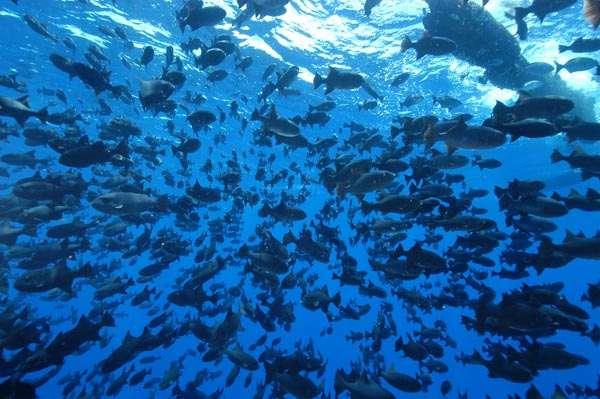 Les poissons, groupe représenté par environ 28.000 espèces, n'auraient pas évolué comme on le pensait. © IRD
