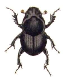 Onthophagus taurus, l'insecte le plus fort du monde. © Carl Gustav Calwer, domaine public
