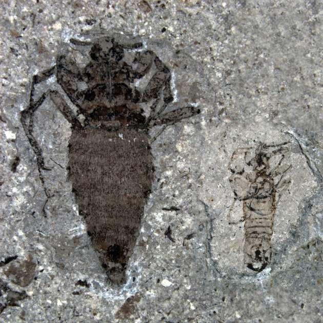Les puces sont des insectes qui ont perdu leurs ailes secondairement. © Huang et al. 2012, Nature