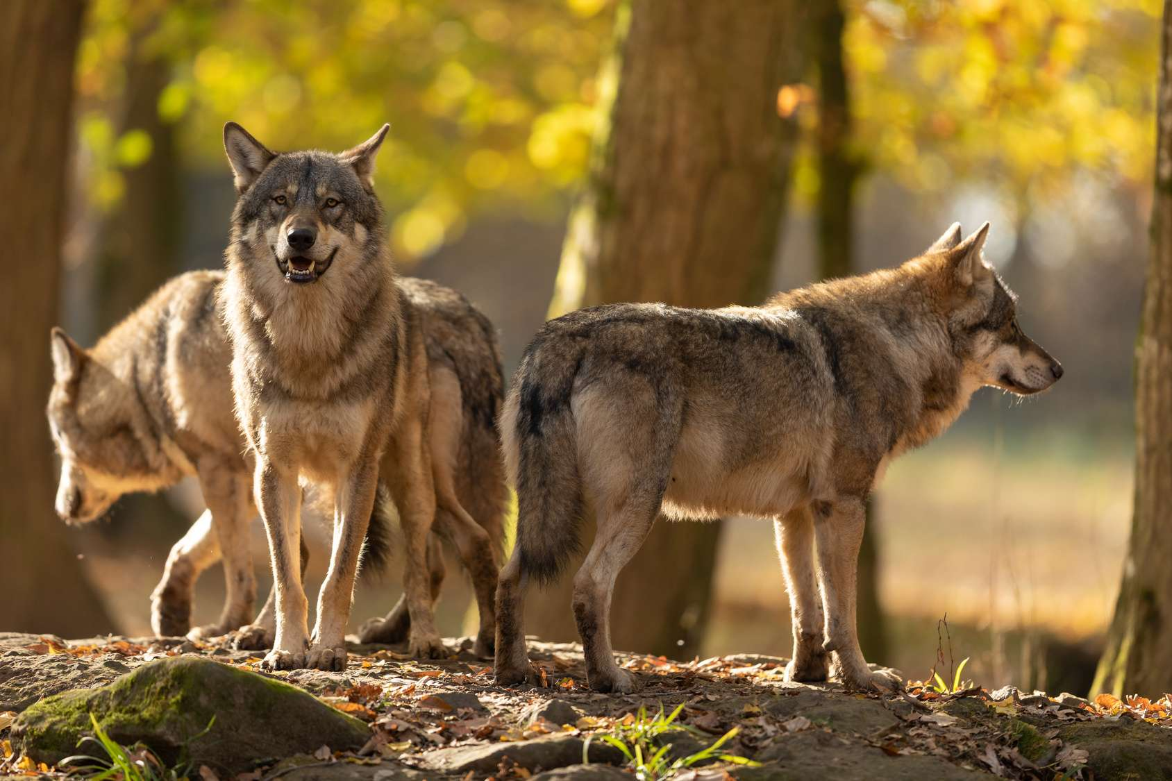 Le loup avait été éradiqué en France dans les années 1930 et est revenu naturellement par l'Italie. © Alexandre, Fotolia