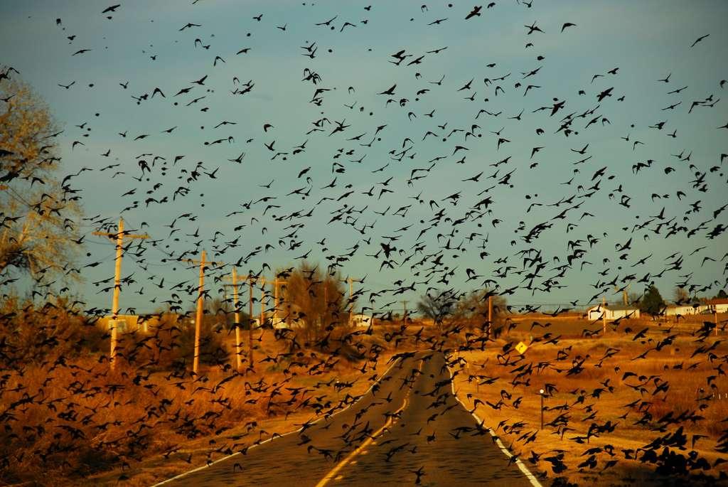 Selon cette étude, les oiseaux téméraires sont capables d'estimer la vitesse moyenne des véhicules sur une route et de s'envoler à temps pour ne pas se faire écraser par les voitures... dans le principe en tout cas. © Brian, Flickr, cc by nc sa 2.0