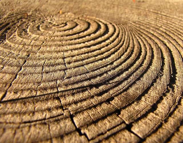 Le comptage des anneaux de croissance des arbres pour déterminer leur âge est appelé la dendrochronologie. Ces anneaux sont également utilisés pour étudier les climats passés. © kendura99, Flickr, cc by nc nd 2.0