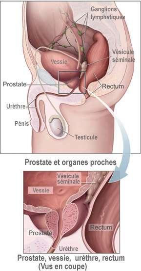 Schéma indiquant la place de la prostate dans l'appareil génital masculin. Son rôle consiste à sécréter le liquide séminal, composant indispensable du sperme. © National Cancer Institute, Wikipédia, DP