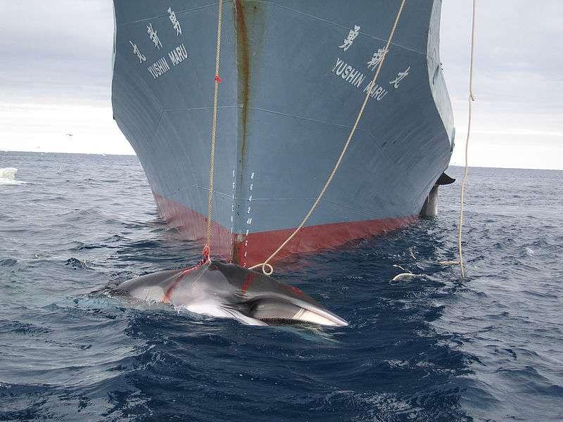 Le début de la chasse commerciale à la baleine remonterait au XIXe siècle. Avant cette période, plus d'un million de baleines à bosse vivaient dans nos océans. Aujourd'hui, il n'en resterait que 20.000. © Australian Custom, CC by-sa 3.0