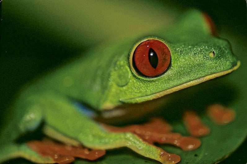 La rainette aux yeux rouges (Agalychnis callidryas), surprise dans son intimité. On la trouve dans de nombreux pays d'Amérique centrale. © Sylvain Lefebvre, Marie-Anne Bertin