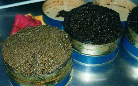 Le caviar illégal inonde le marché européen