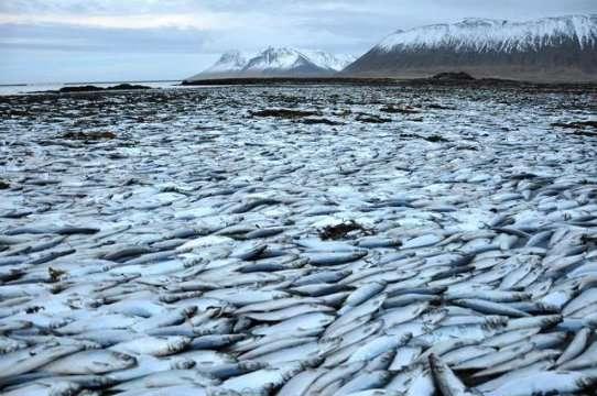 Dans le fjord Kolgrafafjörður, en Islande, des millions de harengs ont été retrouvés asphyxiés. Un barrage, construit à l'entrée du fjord, a modifié la circulation océanique. Il n'y a plus assez d'échanges entre l'océan large et l'eau du fjord, ce qui rend le milieu anoxique. © Ljósmynd, Róbert Arnar Stefánsson