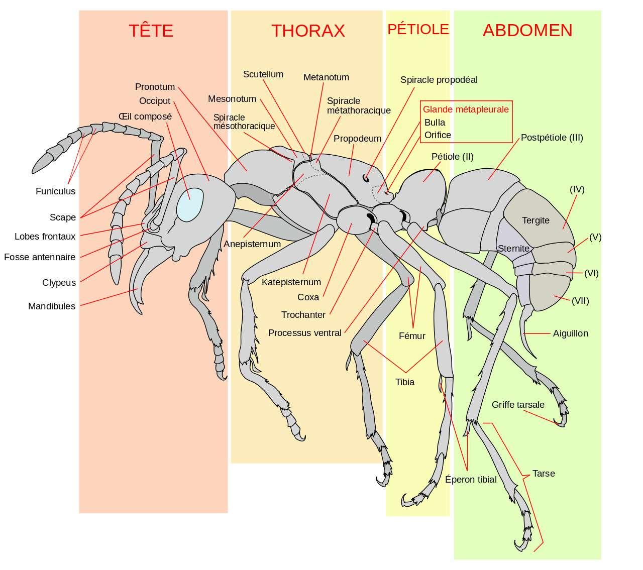 Schéma d'une fourmi ouvrière. © LadyofHats, Wikimedia Commons, Domaine public
