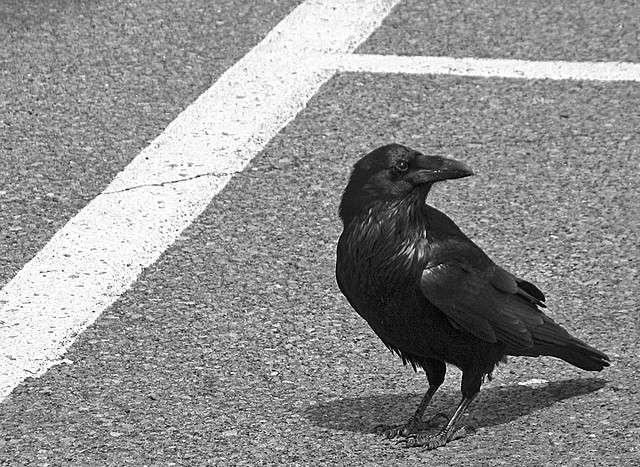 Aussi à l'aise à la campagne qu'en ville, la corneille est un oiseau opportuniste. © Chris de Rham CC by-nc-nd 2.0