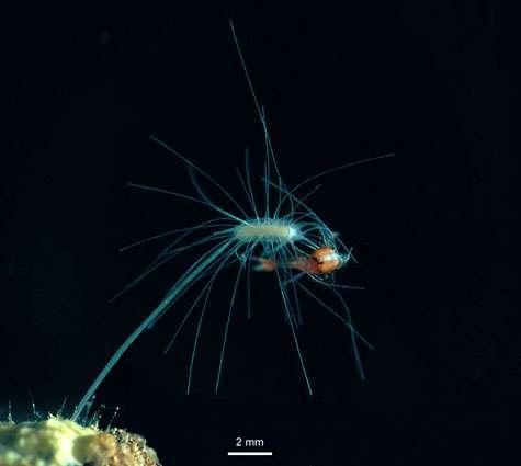 L'éponge carnivore cavernicole Asbestopluma hypogea, lors de la capture d'une proie. © DR