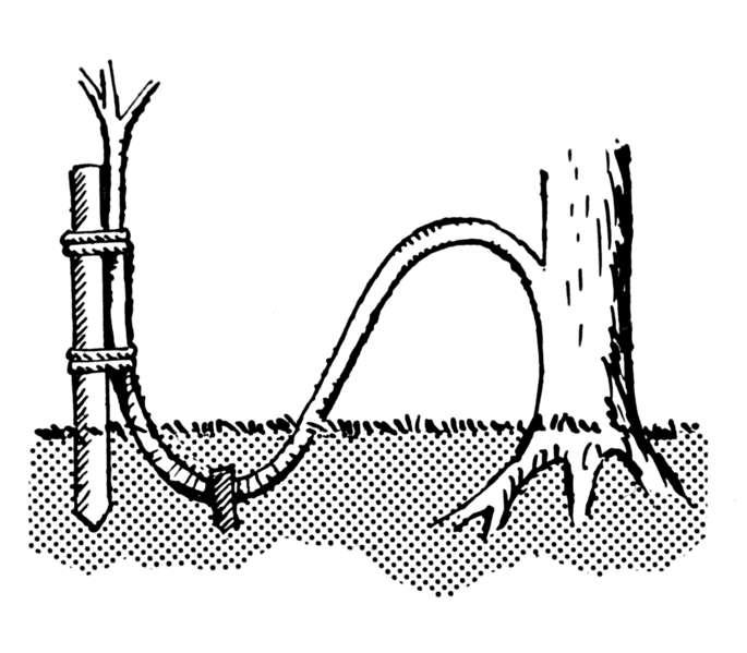 Le marcottage est utilisé pour multiplier artificiellement certaines plantes. Il suffit pour cela de recouvrir de terre une partie d'un rameau. © Pearson Scott Foresman, Wikimédia domaine public