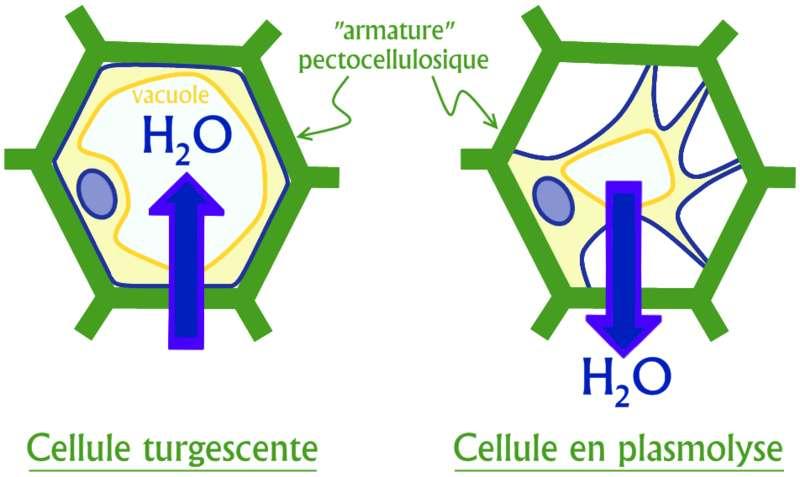 Schéma de la turgescence et de la plasmolyse d'une cellule végétale en fonction des flux d'eau. © Svtsvt, Wikimédia CC by-sa 3.0