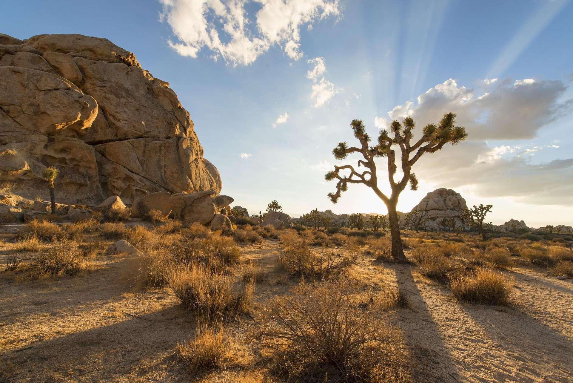 Un magnifique arbre de Josué dans le Parc natioanl de Joshua Tree, en Californie. © Christopher Michel, Wikipedia, CC by 2.0