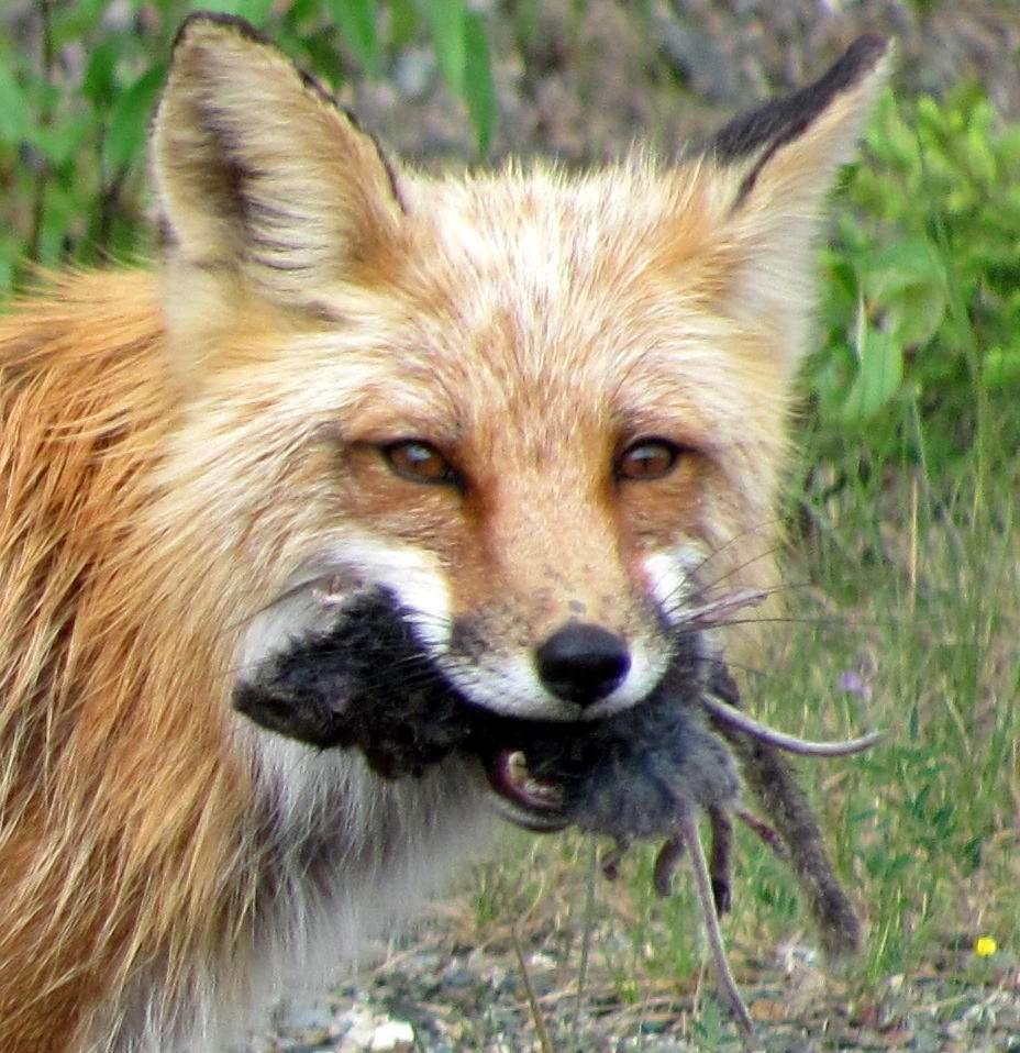 Les renards comptent parmi les prédateurs qui régulent les populations de rongeurs, tout comme les oiseaux de proie, et évitent ainsi l'émergence de certaines épidémies en se nourrissant des animaux malades. © Veronika Ronkos, Wikipédia, CC by-sa 3.0