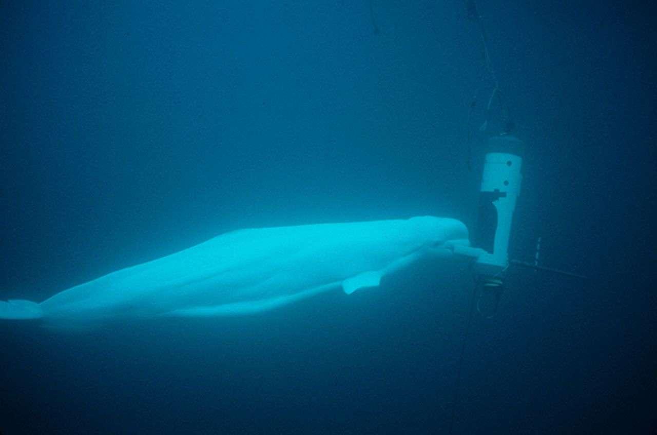 Des bélugas, encore appelés baleines blanches, ont été formés pour éteindre à l'aide de leur bouche un signal sonore sous-marin. S'ils émettent certains sons pour s'orienter dans les profondeurs, ce qu'on appelle l'écholocation, ils en expriment d'autres types qui correspondent à leur contentement après une action réussie. © US Navy