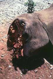 Dans les années 1980, le nombre d'éléphants d'Afrique a chuté de 1,3 million à 600.000. Depuis l'interdiction du commerce de l'ivoire en 1989, les populations des savanes se sont partiellement reconstituées mais, faute de moyens de surveillance, celles de