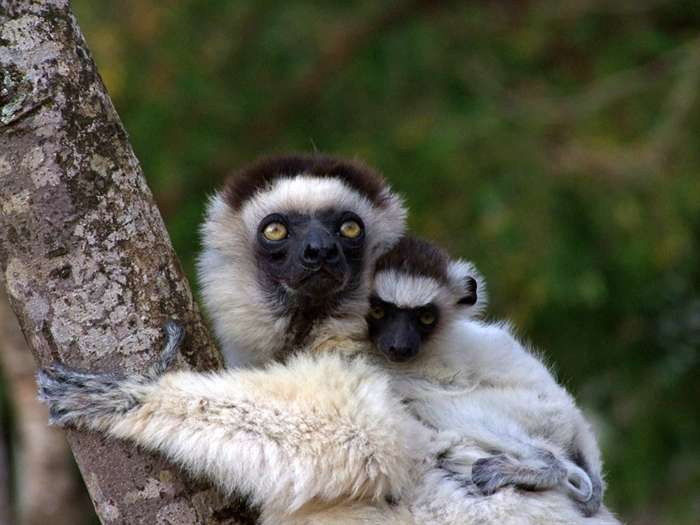 Un propithèque de Verreaux, ou Sifaka de Verreaux, et son petit. Ce lémurien de Madagascar est menacé d'extinction. © Luca Santini
