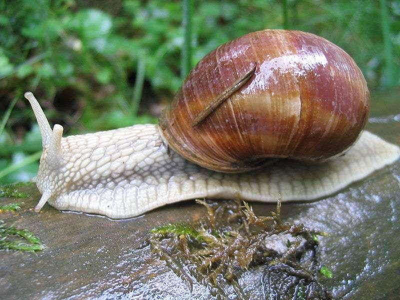 Escargot de Bourgogne (Helix pomatia) - Crédits Dr. Hagen Graebner / Wikipedia