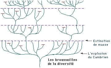 À chaque extinction (ligne pointillée violette), des taxons disparaissent. Les survivants, en revanche, se diversifient très rapidement (apparition de nouvelles branches, sur un temps géologique relativement court) : c'est l'explosion radiative. © ENS Lyon