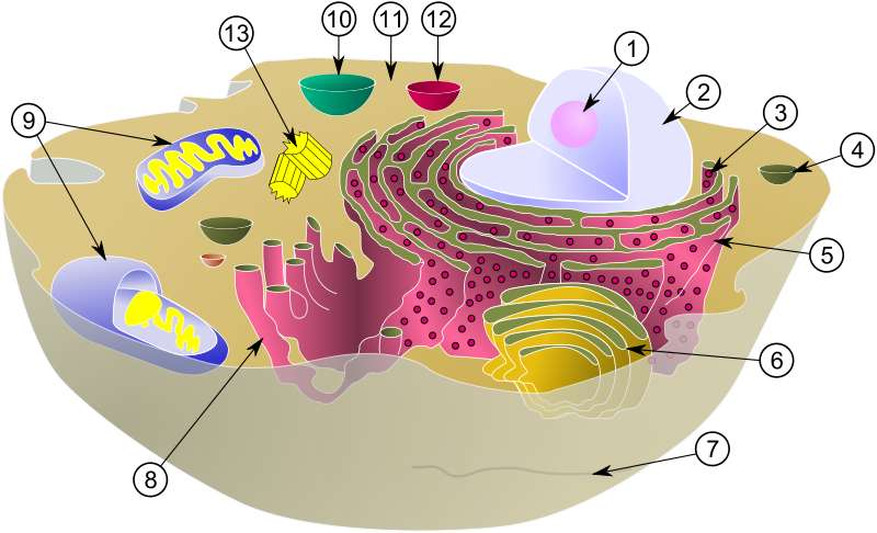 Schéma d'une cellule animale typique avec ses organites : 1. Nucléole ; 2. Noyau ; 3. Ribosome ; 4. Vésicule ; 5. Réticulum endoplasmique rugueux (ou granuleux), aussi appelé ergastoplasme ; 6. Appareil de Golgi ; 7. Cytosquelette ; 8. Réticulum endoplasmique lisse ; 9. Mitochondrie ; 10. Vacuole ; 11. Cytosol ; 12. Lysosome ; 13. Centriole. © MesserWoland et Szczepan1990, Wikimedia, CC by-sa 3.0