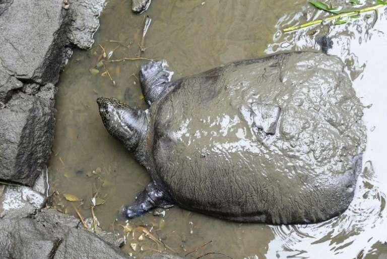 La tortue à carapace molle du Yangtsé ne compte plus que trois spécimens connus à la surface du globe après le décès début avril d'une femelle âgée d'au moins 90 ans au zoo de la ville de Suzhou, dans l'est de la Chine. © STR - AFP