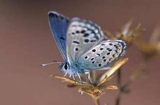 Pseudophilotes sinaicusCrédit : http://www.leps.it