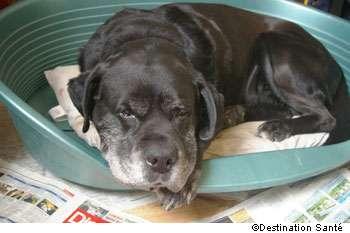 Les chiens sont victimes de maladies liées à l'âge. © Destination Santé