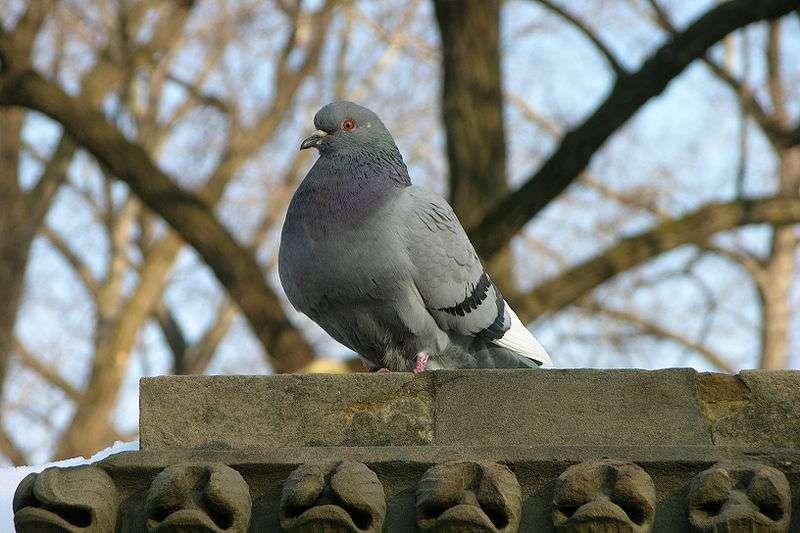 On prend souvent les oiseaux pour des animaux plutôt stupides. Pourtant, comme le montre cette étude, les pigeons peuvent différencier un tableau de Monet de celui de Picasso. Ce n'est malgré tout qu'une piètre prestation à côté des corvidés (corbeaux, pies, geais...) capables de résoudre des tâches très complexes. Des corneilles se servent d'outils tandis que les pies se reconnaissent dans le miroir. © Derek ramsey, Wikipédia, GNU Free Documentaion License 1.2