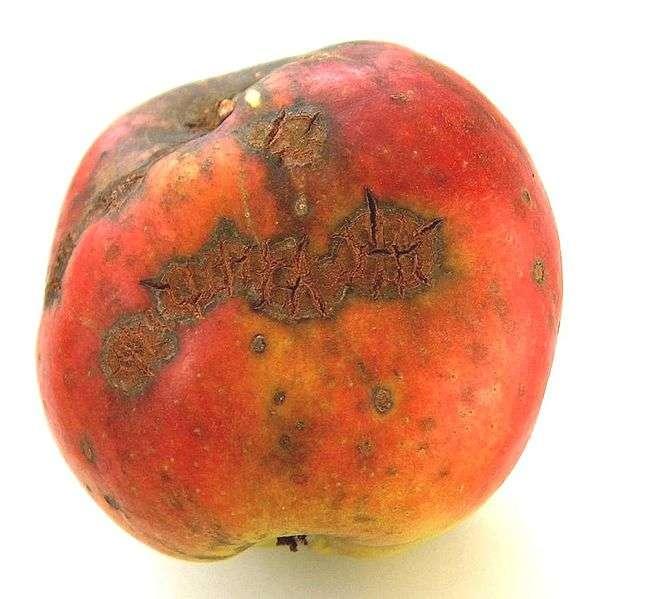 La tavelure du pommier est reconnaissable par ses taches brunes et la déformation du fruit. © Markus Hagenlocher, Wikipédia, CC BY-SA 3.0