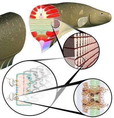 Les cellules d'anguilles électriques à la source de l'inspiration des chercheurs. Crédit : Yale University, Daniel Zukowski