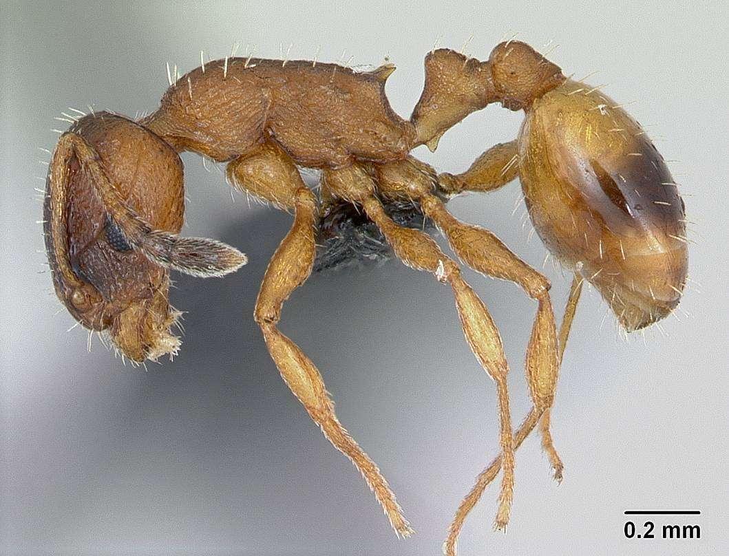 En s'isolant pour mourir, les fourmis comme cette Temnothorax unifasciatus réduiraient les risques de répandre des épidémies dans leur colonie et augmenteraient ainsi les chances de transmettre leurs gènes. © Antweb.org
