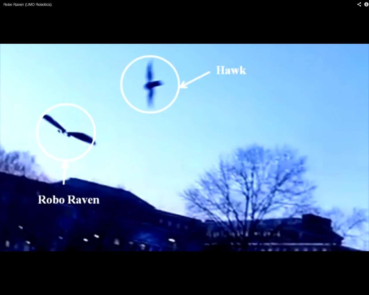 Un faucon attaque Robo Raven en plein vol. © Capture d'écran, UMDRobotics, YouTube