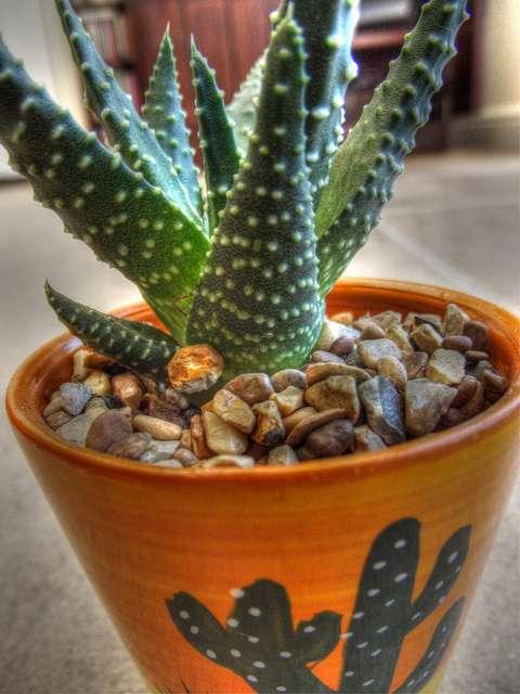 Pour lutter contre la pollution domestique, les cactus font partie des plantes dépolluantes les plus souvent utilisées. © Andrew Evans, Flickr, cc by 2.0