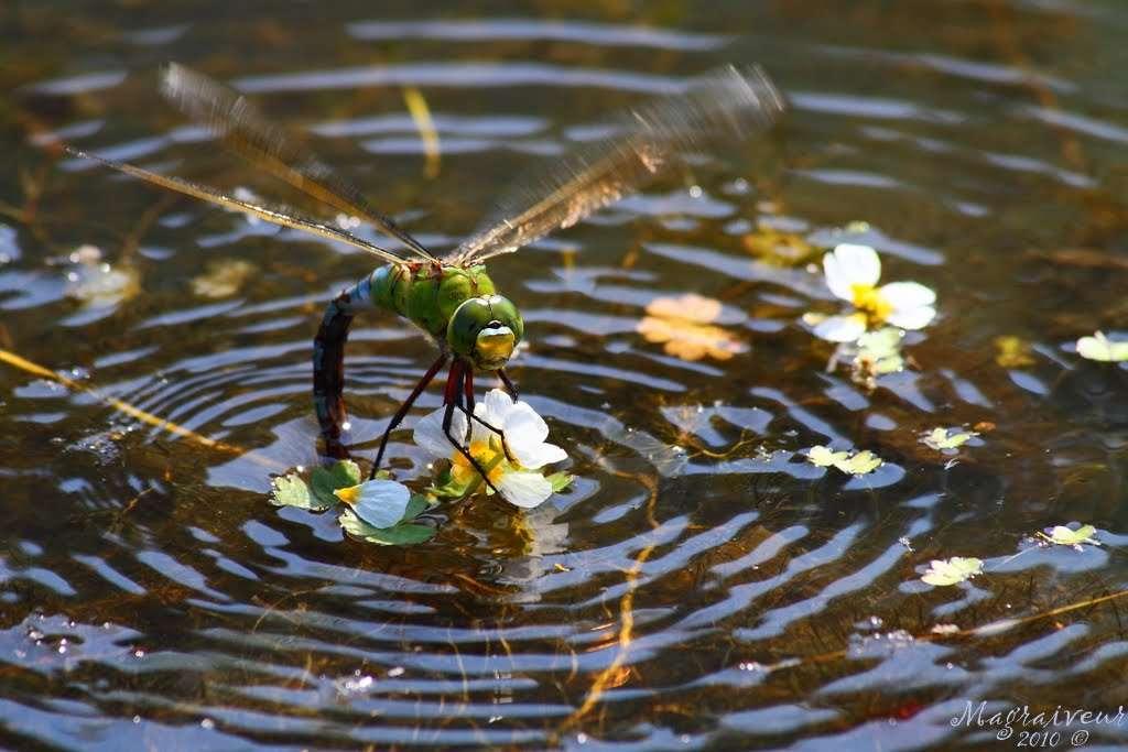 Certaines libellules peuvent atteindre 36 km/h en vol, soit bien plus qu'un frelon (22 km/h). Elles vivent principalement à proximité de pièces d'eau ou de cours d'eau. © Magraiveur Marc, Flickr, cc by nc nd 2.0
