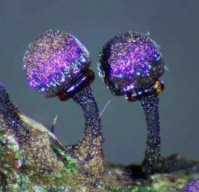 Elaeomyxa cerifera, un myxomycète scintillant comme une galaxie. © Sarah Lloyd