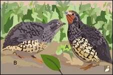 Perdicules du Manipur (Perdicula manipurensis) : A- Mâle, B- Femelle