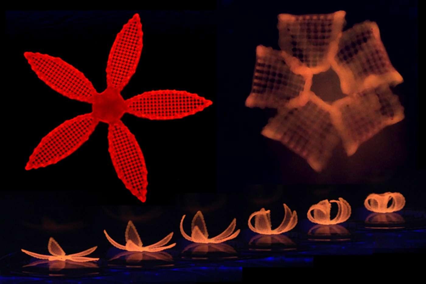 Ces fleurs ont été fabriquées à partir d'un procédé d'impression dit « 4D » qui utilise un hydrogel à base de fibrilles de cellulose. Une fois plongées dans l'eau, ces structures changent de forme. © Wyss Institute at Harvard University