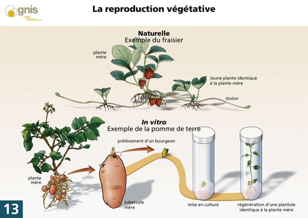 La reproduction végétative peut se produire de façon naturelle ou artificielle. Sur le schéma, la reproduction naturelle du fraisier est réalisée grâce au stolon. La jeune plante est exactement identique à la plante mère. De manière artificielle, la reproduction végétative se fait in vitro. Dans le schéma, le bourgeon de la pomme de terre est extrait dans un tube à essai, il est mis en culture. La plante fille est exactement identique à la plante mère. © Gnis