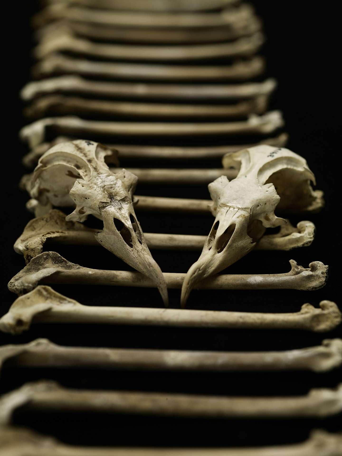 Des chercheurs ont récolté 17.000 ossements de pétrels des Hawaï et ont étudié leur composition chimique. Ils ont ainsi pu déterminer l'évolution du régime alimentaire de ces oiseaux marins sur 4.000 ans d'histoire. © Brittany Hance