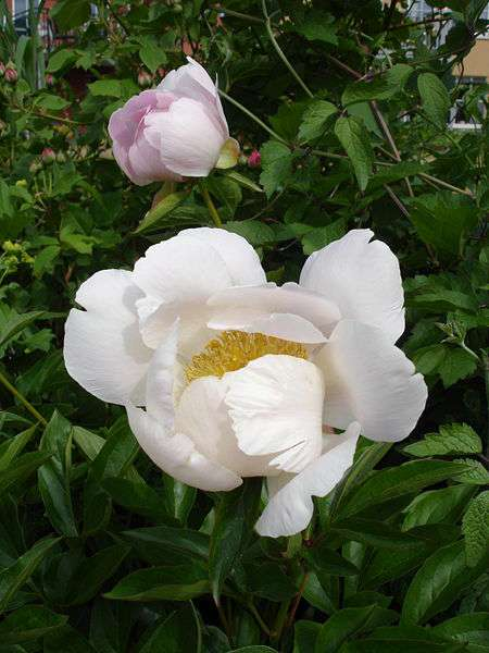 La pivoine de Chine, en plus d'être jolie, contient des molécules aux propriétés médicinales. © Wikimedia Commons