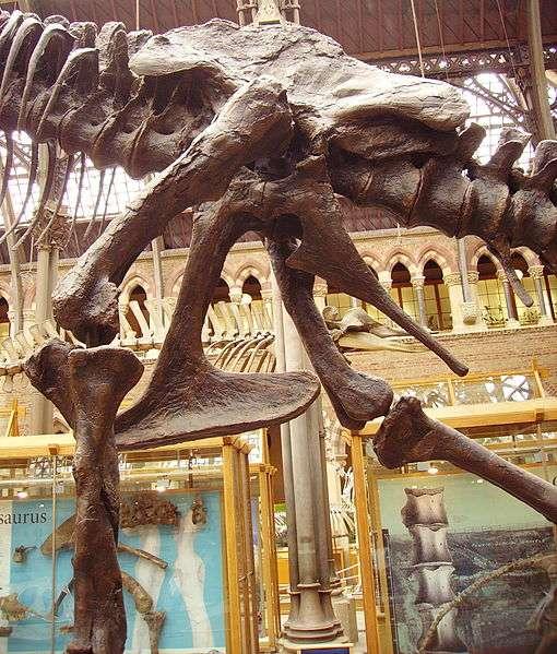 Cette photographie montre le bassin d'un Tyrannosaurus rex. Le pubis y est orienté vers le bas et vers l'avant (il se situe au niveau du genou gauche). Ainsi, il est bien un saurischien. L'os pointant vers l'arrière est l'ischion. © Ballista, Wikimedia Commons, cc by sa 3.0