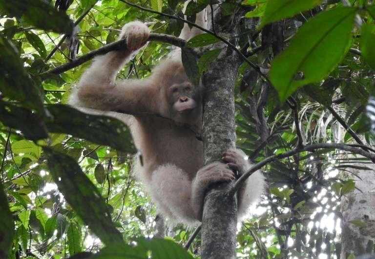 L'orang-outan albinos Alba, remise en liberté fin 2018, a été observée très récemment en bonne santé dans la forêt de Bornéo. © Handout, Borneo Orangutan Survival Foundation, AFP