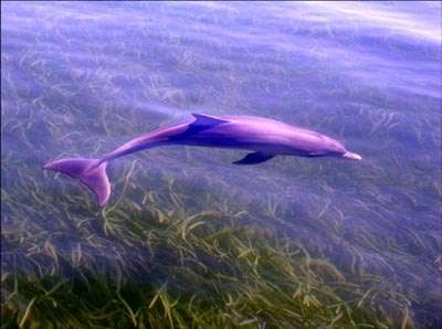 La nouvelle espèce de grand dauphin vit très près de la côte, au sud de l'Australie. © Université Macquarie