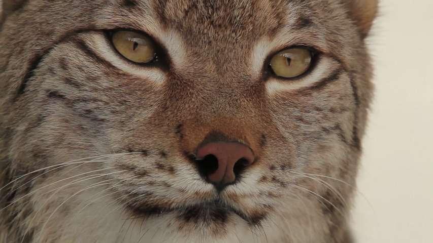 Découvrez le lynx, ce prédateur secret du Jura et des Vosges