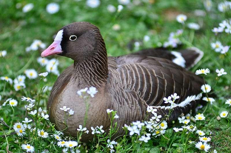 L'oie naine est un oiseau de la toundra et de la taïga. Elle se distingue de l'oie rieuse par sa petite taille. © Fiorellino, Wikipédia, cc by sa 3.0