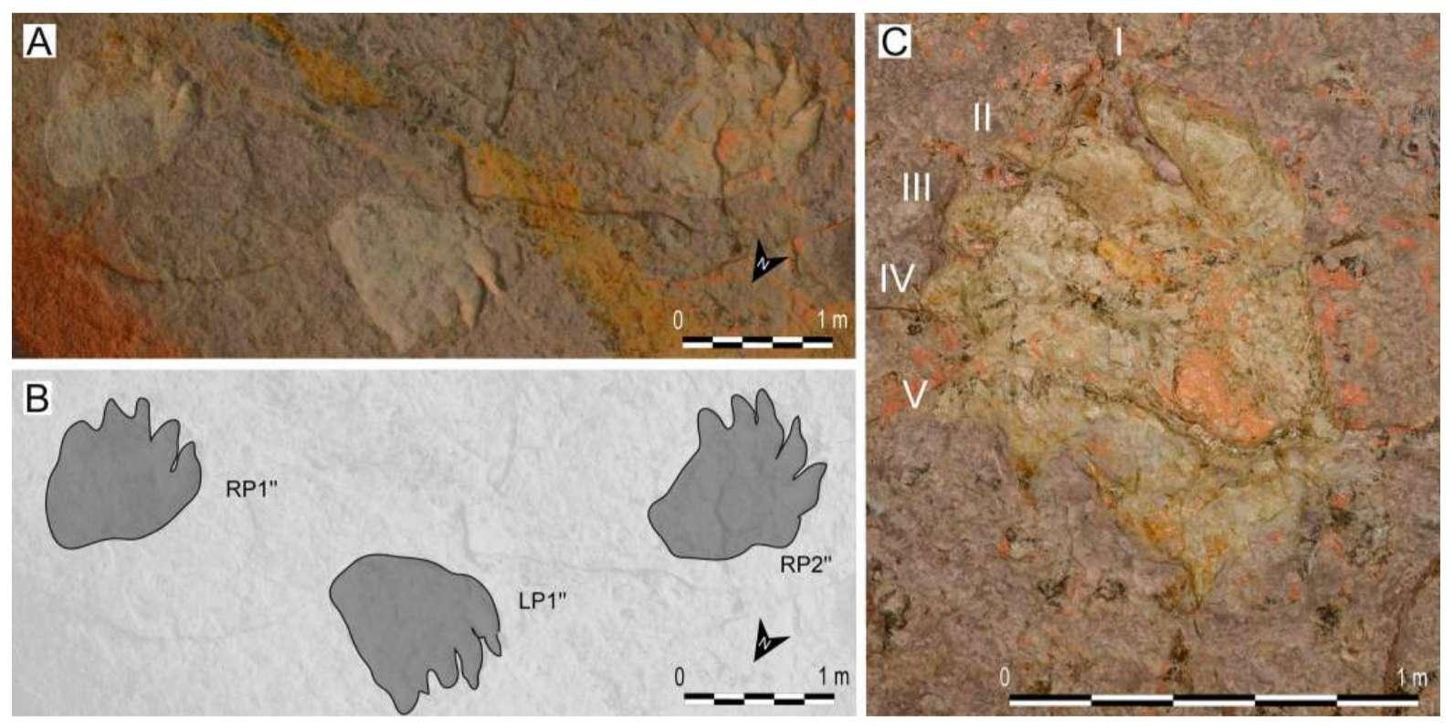 Photos et image de la piste d'empreintes CAS-3. Sur la photo A, des empreintes texturées en 3D assorties d'une échelle. Sur l'image B, un croquis d'interprétation. Et sur la photo C, un zoom sur une trace de pied droit comportant cinq orteils numérotés. © Moreau et al., Journal of Vertebrate Paleontology